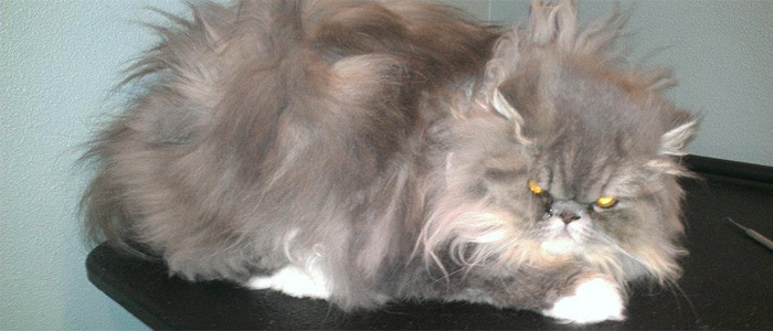 Cat Grooming Woodinville
